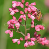 Honey Bee on 'Lillian's Pink' Coral Bells 2
