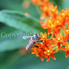 Honey Bee on Butterfly Milkweed 3