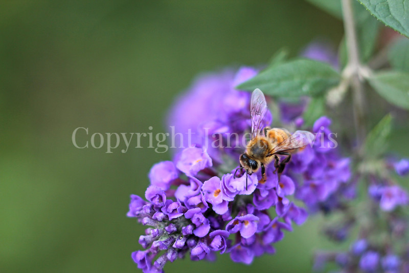 Honey Bee on Lo and Behold Butterfly Bush 1