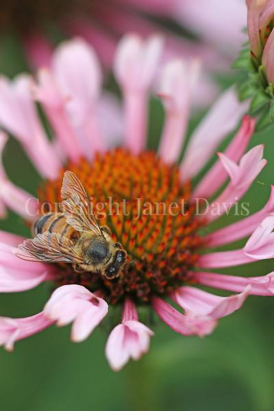 Honey Bee on Echinacea 'Quills and Thrills' 2