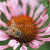 Honey Bee on Echinacea 'Quills and Thrills' 2