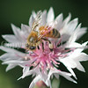 Honey Bee on Pink Cornflower