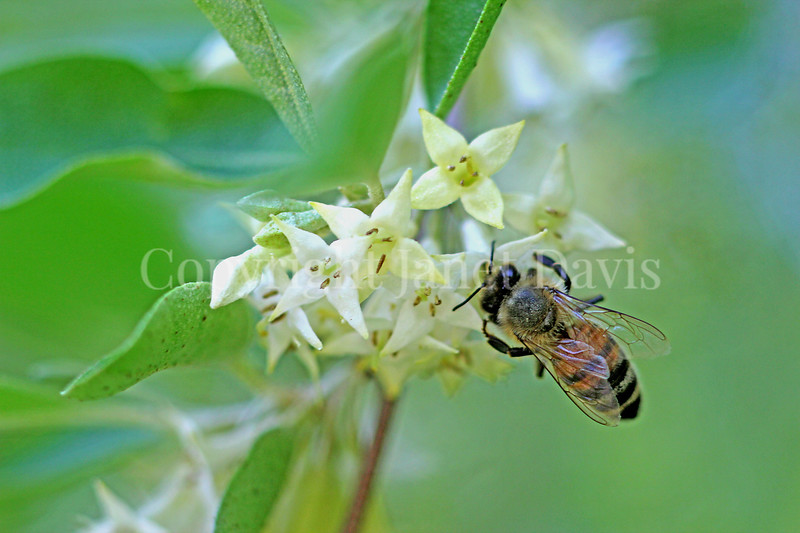 Honey Bee on Autumn Olive