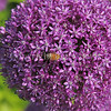 Honey Bee on Allium 'Ambassador'