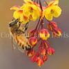 Honey Bee on Japanese Barberry 2