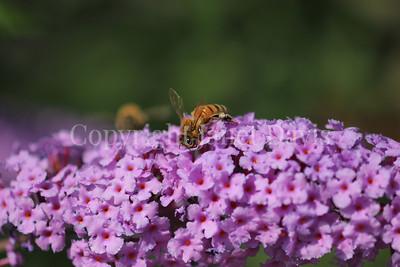 Honey Bee on Butterfly Bush 2