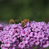 Honey Bee on Butterfly Bush 2