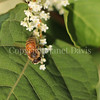 Honey Bee on Japanese Knotweed 5
