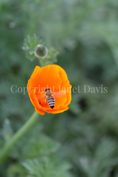 Honey Bee on California Poppy 1