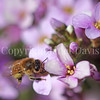 Honey Bee on Pink Wallcress or Arabis