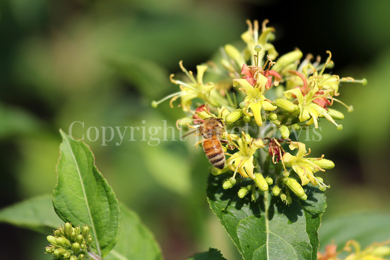 Honey Bee on Dwarf Bush Honeysuckle 2