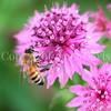 Honey Bee on Astrantia or Masterwort 1