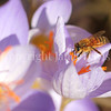 Honey Bee on Fall Crocus 2