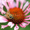 Honey Bee on Echinacea 'Quills and Thrills' 3