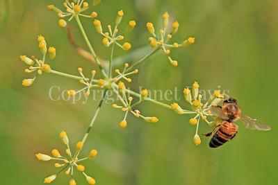 Honey Bee on Dill