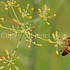 Honey Bee on Dill