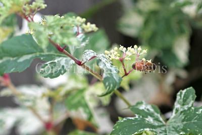 Honey Bee on Porcelain Vine 2