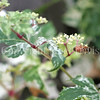 Honey Bee on Porcelain Vine 2