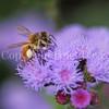 Honey Bee on Ageratum 3