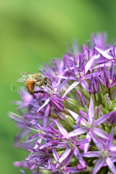 Honey Bee on Star-of-Persia Allium 2