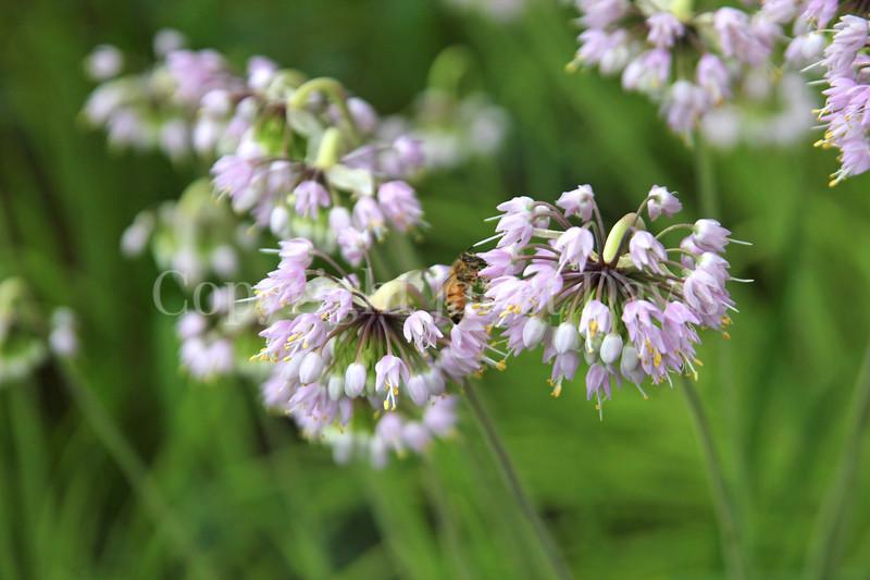 Honey Bee on Nodding Onion 2
