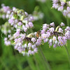 Honey Bee on Nodding Onion 2