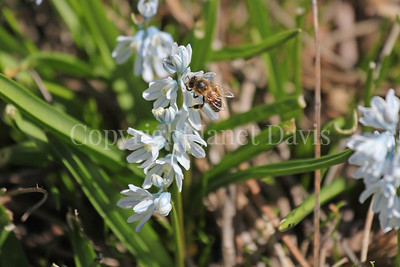Honey Bee on Striped Squill 4