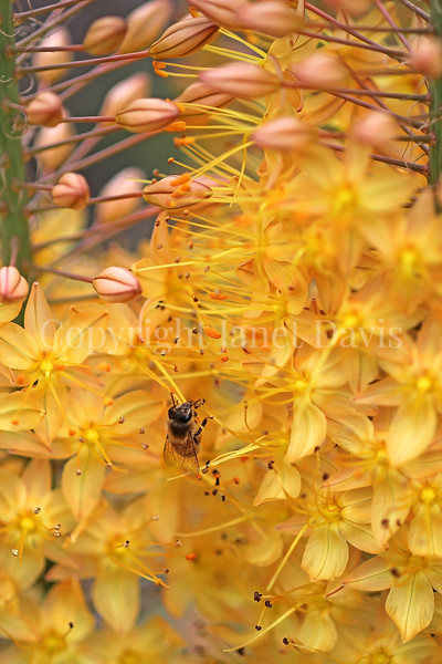 Honey Bee on Foxtail Lily or Eremurus 1