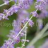 Honey Bee on Russian Sage 1