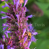 Honey Bee on 'Blue Boa' Hummingbird Mint