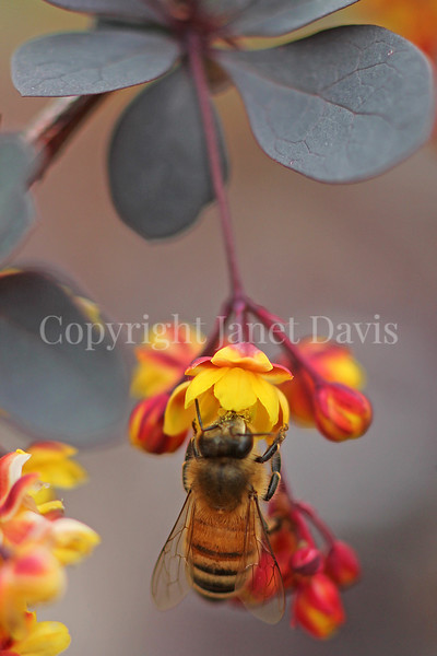 Honey Bee on Japanese Barberry 3