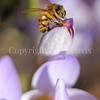 Honey Bee on Fall Crocus 1
