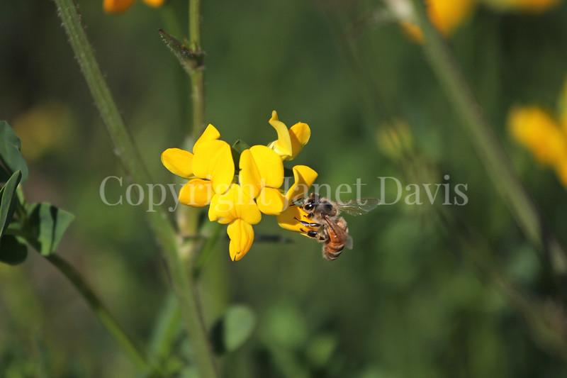 Honey Bee on Birdsfoot Trefoil 2