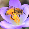 Honey Bee on Crocus tomassinianus