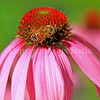 Honey Bee on Echinacea