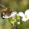 Honey Bee on White Rockcress or Arabis 3