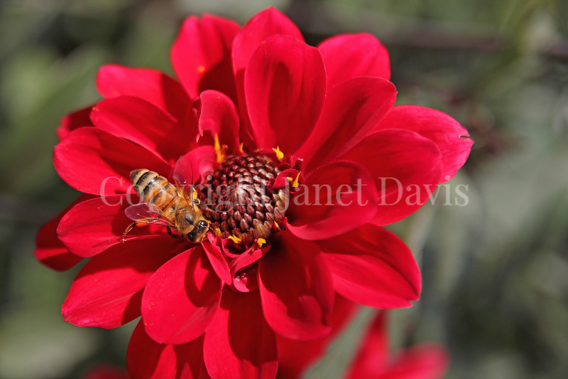 Honey Bee on Dahlia 'Bishop of Llandaff'