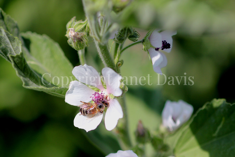 Honey Bee on Marsh Mallow