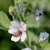 Honey Bee on Marsh Mallow