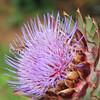 Honey Bee on Cardoon