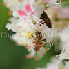 Honey Bee on Horse Chestnut 4