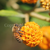 Honey Bee on Orange-Ball Buddleia 1