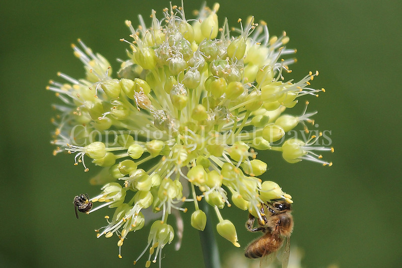 Honey Bee on Twisted-Leaf Garlic 1