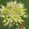 Honey Bee on Twisted-Leaf Garlic 1