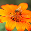 Honey Bee on Tithonia or Mexican Sunflower