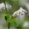 Honey Bee on Buckwheat 2