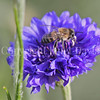 Honey Bee on Blue Cornflower 1