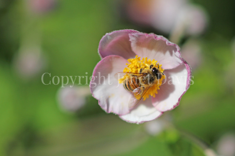 Honey Bee on Japanese Anemone 4