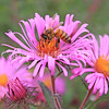Honey Bee on Mauve New England Aster 2