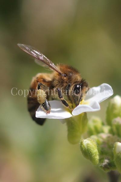 Honey Bee on White Rockcress or Arabis 2